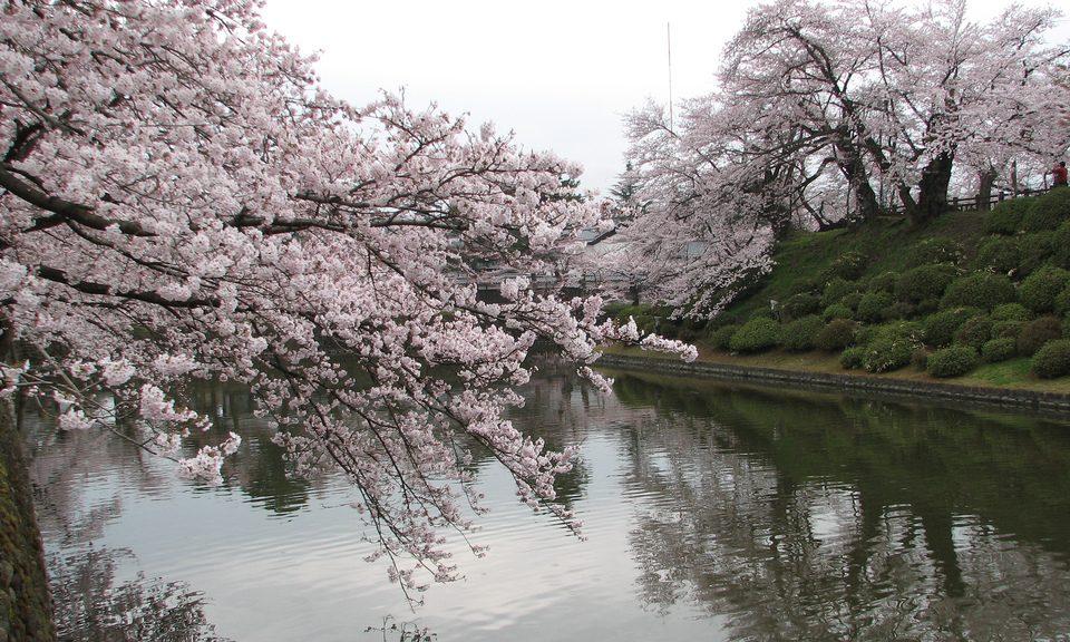 Sakura, Flor de cerezo