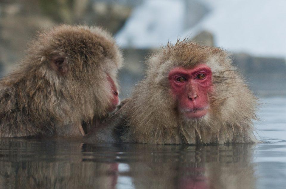 Monos de nieve