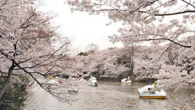 Calendario oficial del florecimiento de cerezos 2018